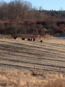 Even the cows were cold!