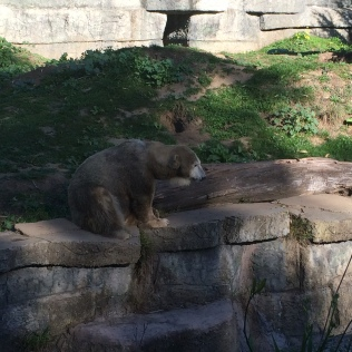 This polar bear is 33 years old!